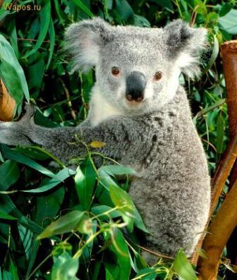 Австралия: правительство взяло под свою защиту коал